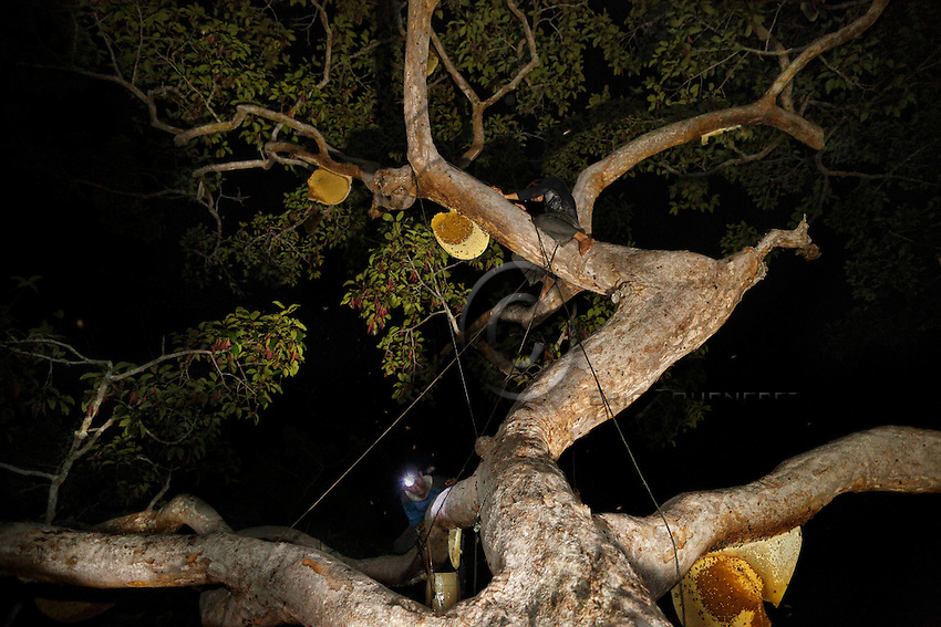 Hamsah, perched on a branch one meter from a comb, blows on the embers of his smoker. ///Hamsah juché sur une branche à un mètre d'un rayon souffle sur les braises de son enfumoir.