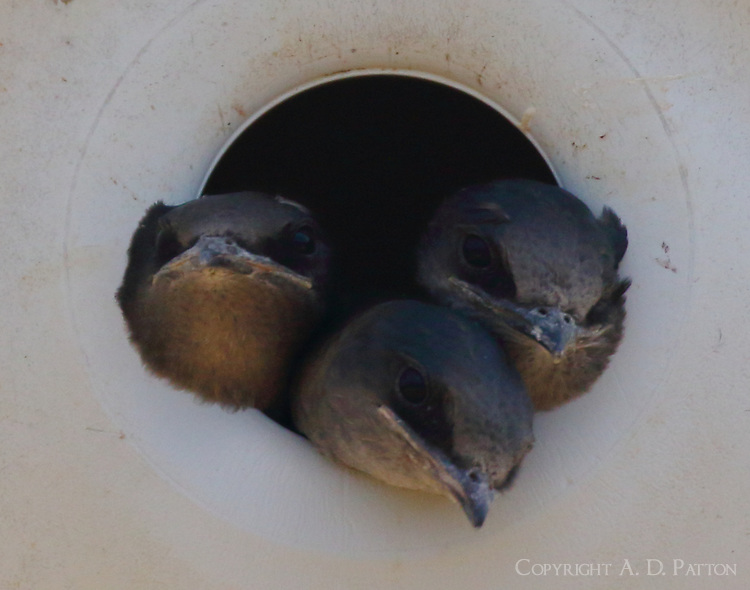Purple martin babies waiting for food