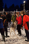 Woman in traditional sami reindeer skin hat reindeer catches a reindeer at a roundup at Vuomaselkä, Lapland, where semi-domesticated deer are sorted and seperated for breeding, slaughter, returned to their owners, injected for parasites, or released back into the forest.