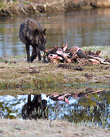 Reflection of Black Wolf in the Gibbon River of Yellowstone National Park ( 10 megabite file don't print over 11X14 ).