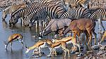 Etosha National Park, Namibia, Burchell's zebra (Equus quagga burchellii), gemsbok or South African oryx (Oryx gazella), greater kudu (Tragelaphus strepsiceros), springbok (Antidorcas marsupialis) at waterhole