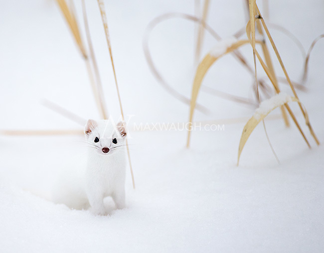I was fortunate to spend some time with this ermine (a long-tailed weasel in its winter coat) near the road.