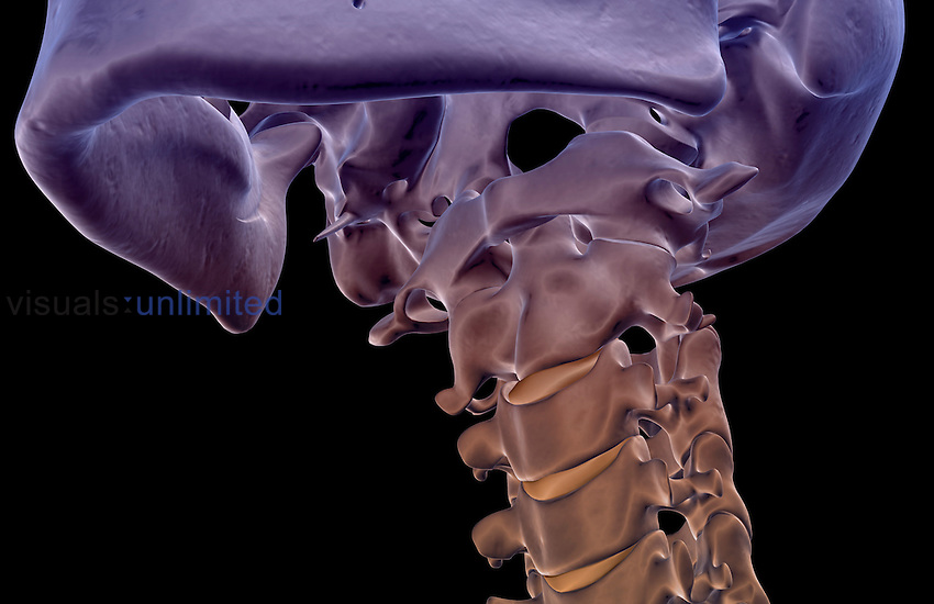 An anterolateral view (left side) of the bones of the neck. Royalty Free