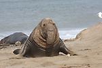 bull elephant seal moving on dunes