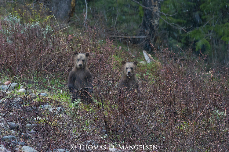 Grizzly bear cubs (610's) stand on a hill in Grand Teton National Park, Wyoming.