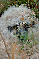 Great Horned Owlet Fallen from the Nest