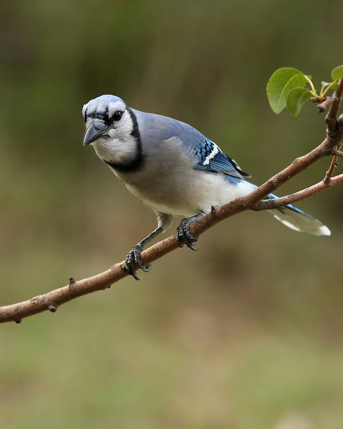 Blue jay late Summer, pear tree.