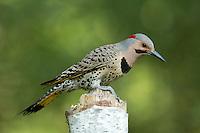 Northern Flicker - Male