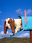 Basset Hound Dog in the mailbox