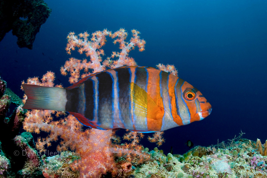 The harlequin tuskfish, Choerodon fasciatus, is member of the wrasse family and reaches almost 10 inches in length.  Australia.
