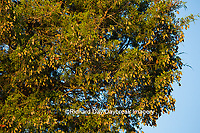 03536-05717 Monarch Butterflies (Danus plexippus) roosting in Eastern Red Cedar (Juniperus virginiana)  Prairie Ridge State Natural Area, Marion Co., IL