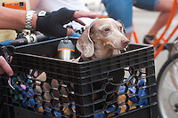 New York, NY -  13 August 2011 Dachschund riding in a handlebar mounted crate during Summer Streets, a car-free event.