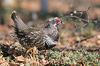 Male spruce grouse in breeding plumage, Fairbanks, Alaska
