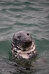 Grey Seal, Halichoerus grypus, Skerries, Dublin