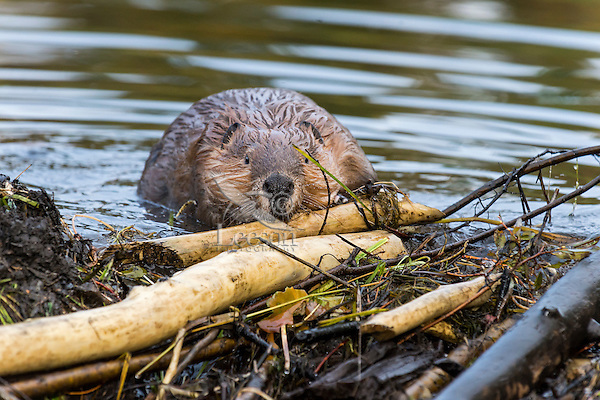 North American Beaver (Castor canadensis) working on dam it has built on a small stream.  Northern Rockies,  Fall.