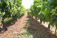 Vineyard. Domaine Enclos de la Croix, Languedoc, France