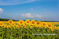 63801-07505 Sunflower field Sam Parr State Park Jasper County, IL