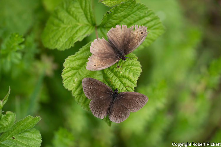 Ringlet Butterflies, Aphantopus hypdrantus, Temple Ewell Nature Reserve, Kent Wildlife Trust, UK, pair together, wings tatty, male and female