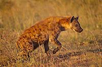 Spotted Hyena (Crocuta crocuta) Serengeti National Park, Tanzania.