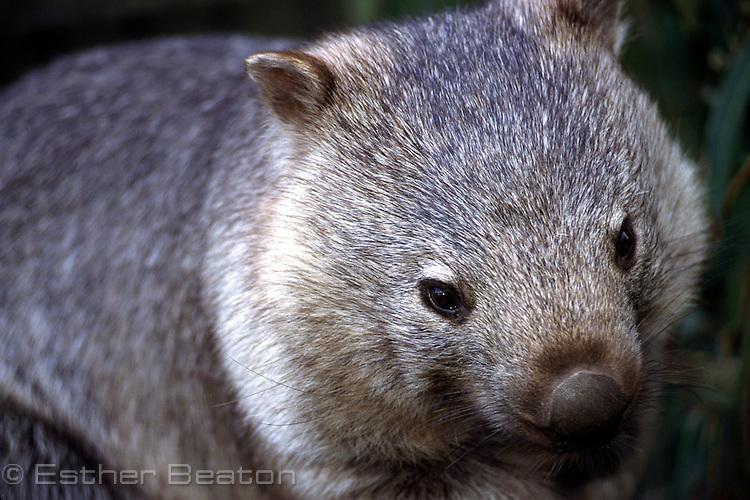 Common Wombat (Vombatus ursinus) Head shot. southeastern Australia