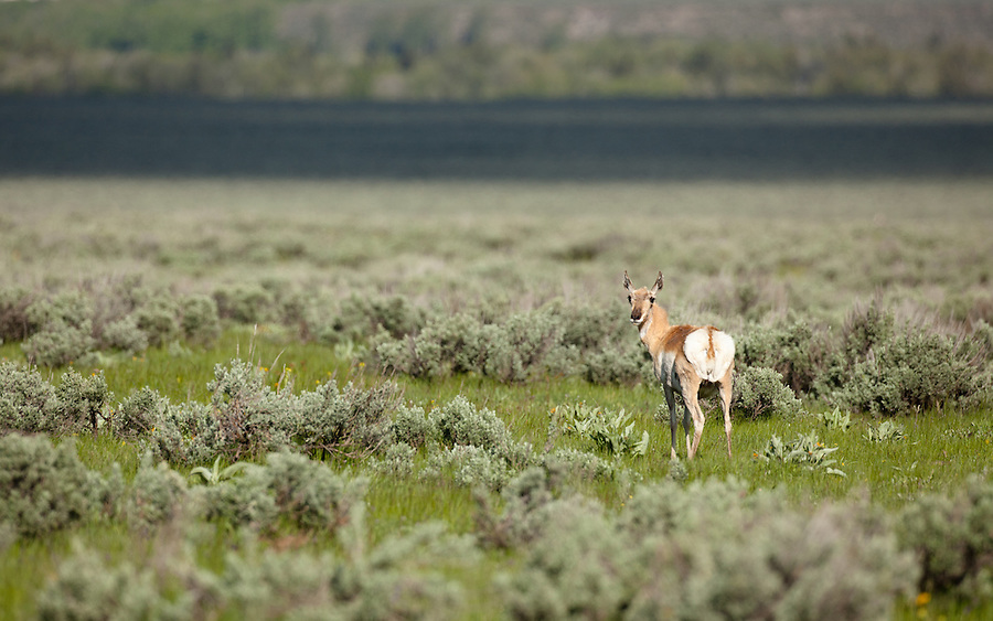 A single pronghorn antelope stands in a grassy field.