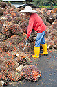 A palm oil mill worker inspecting and sorting oil palm fresh fruit bunches (FFBs) for processing. The Sindora Palm Oil Mill, owned by Kulim, is green certified by the Roundtable on Sustainable Palm Oil (RSPO) for its environmental, economic, and socially sustainable practices. Johor Bahru, Malaysia