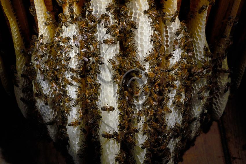 In the warmth of the wax nest, the bees build the wax combs and the cells for storing the honey and raising the brood.<br /> Dans la chaleur du nid de cire, les abeilles construisent les rayons de cire et les cellules pour le stockage du miel et l&rsquo;&eacute;levage du couvain.