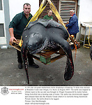 A 100 year old giant leatherback turtle weighing a whopping 70 stone was rescued at Brandon Creek near Dingle, Co. Kerry in August 2005. The turtle was trapped in lobster ropes in the sea and was brought to Dingle Oceanworld by trailer before being forklifted into a holding tank of water. The turtle was electronically tagged and released back into the Atlantic Ocean where it is currently being monitored.<br />