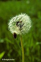 DN04-002a  Dandelion - flower gone to seeds - Taraxacum officinale