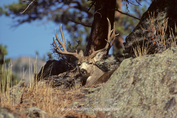 12-915. A mule deer buck with large antlers beds down on a mountainside in northern Colorado.