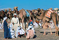 Camel train at rest, Al Ain, Abu Dhabi