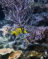 Stock photo: A yellow tang fish of pacific coral reef type swims at the Georgia Aquarium of Atlanta, America.