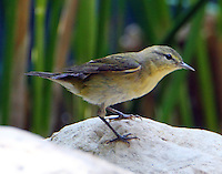 Female Tennessee warbler