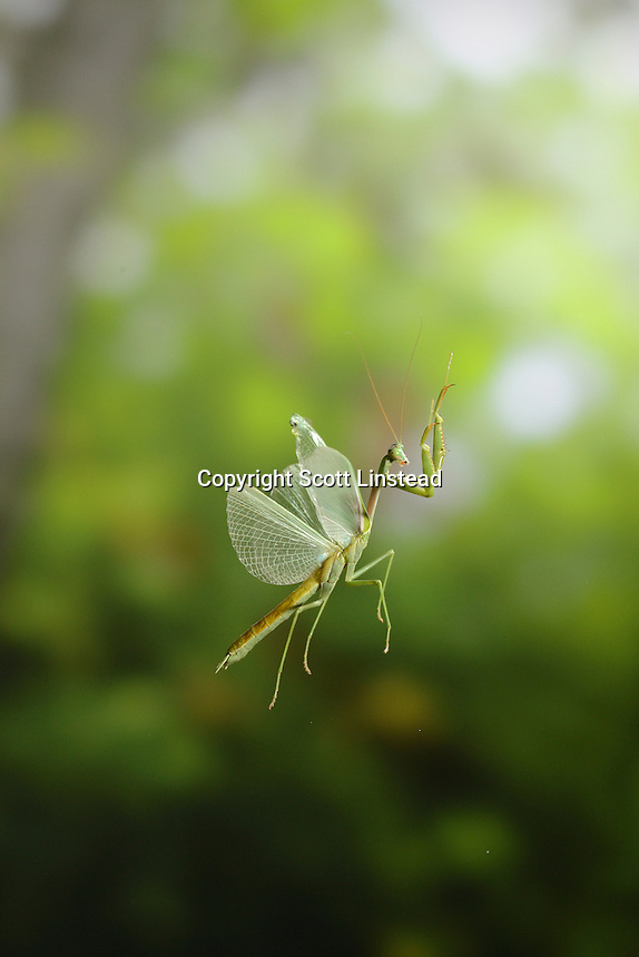 A preying mantis in flight