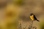 Black-hooded Sierra-Finch (Phrygilus atriceps), Abra Granada, Andes, northwestern Argentina