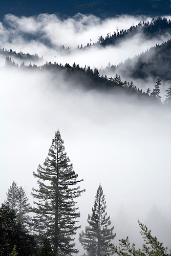MORNING FOG FILTERS THROUGH THE PINE TREE FORESTS AT REDWOOD NATIONAL PARK, CALIFORNIA