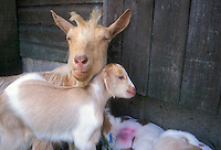Mother goat nanny with kids, beige and white, long haired farm animal, against barn door, with ear identification tag