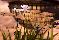 Tropical water lily flowers and pads with colorful sunrise and palm dome reflected in water.