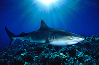 TIGER SHARK, Galeocerdo cuvier, HAWAII. dangerous menacing deadly hazardous cartilaginous Hawaii deadly hazardous cartilaginous fish horizontal underwater sharks