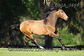 Bob, ANIMALS, REALISTISCHE TIERE, ANIMALES REALISTICOS, horses, photos+++++,GBLA3689,#a#, EVERYDAY