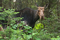 A moose cow at Isle Royale National Park.