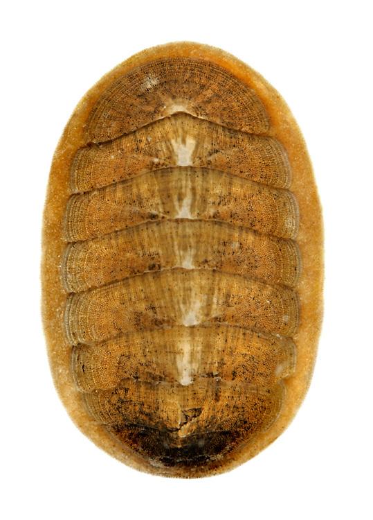leptochitona asellus