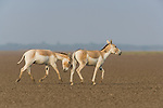 Indian wild asses (Equus hemionus khur), crossing vast dry clay pan, dry season, during the monsoon this pan is flooded
