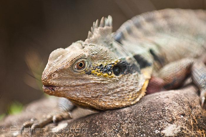 Gippsland Water Dragon, (Itellagama lesueurii howittii) showing nuchal crest, Currumbin Wildlife Sanctuary, Gold Coast, Queensland, Australia