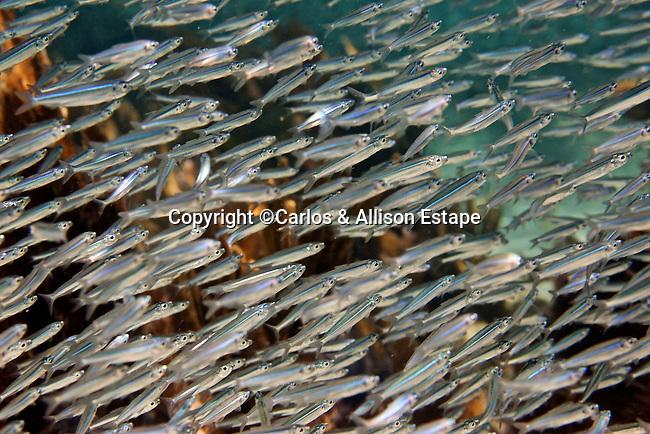 Anchoviella perfasciata, Flat anchovy, Florida Keys