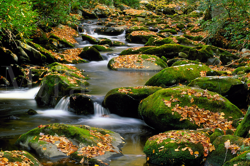 A mountain stream tumbles over moss and autumn leaf- covered rocks. Tennessee, Cades Cove.