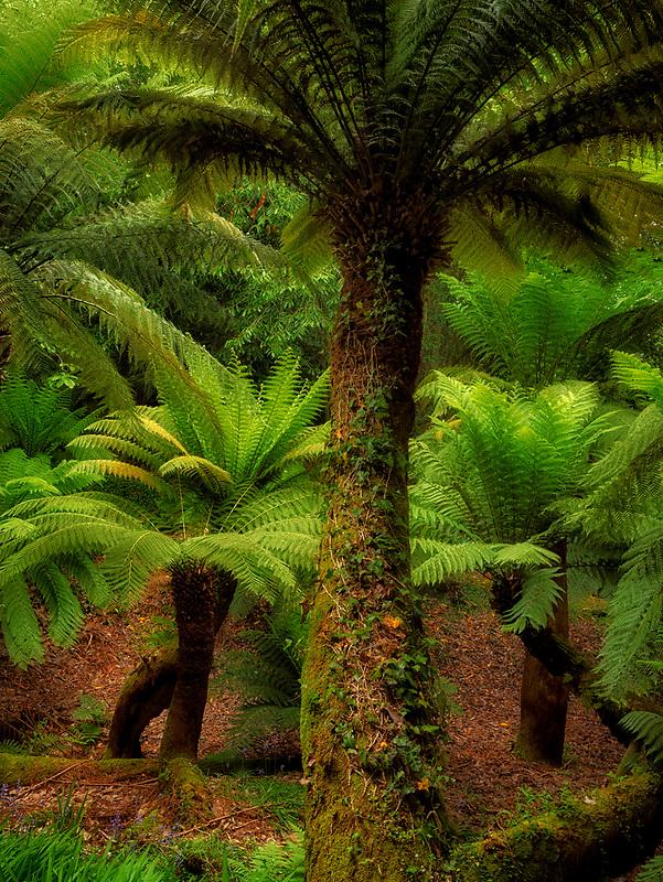 Australian Soft Tree Fern (Dicksonia antarctica). Trewidden Gardens, Cornwall, England