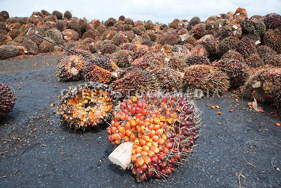 Oil palm fresh fruit bunches (FFBs) awaiting inspection and processing at the mill. The Sindora Palm Oil Mill, owned by Kulim, is green certified by the Roundtable on Sustainable Palm Oil (RSPO) for its environmental, economic, and socially sustainable practices. Johor Bahru, Malaysia