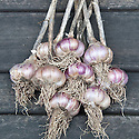 'Lautrec Wight' garlic. A hardneck variety, originally from the town of Lautrec in southwestern France.