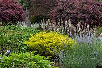 Coleonema pulchellum 'Sunset Gold' (Golden Breath of Heaven), Los Angeles County Arboretum and Botanic Garden